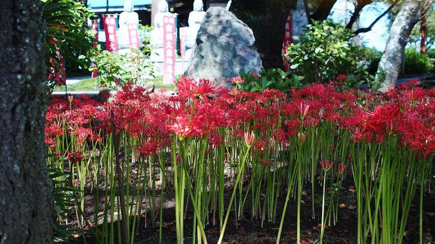 供養 Spiderlily Flowerporn Red M.zuiko Streamzoofamily