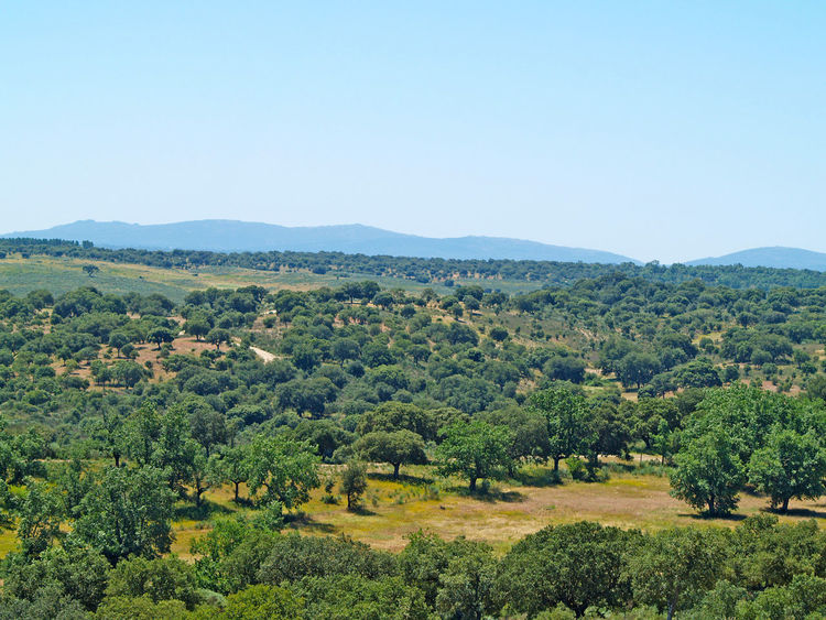 Agriculture Beauty In Nature Clear Sky Day Dehesa Environment Field Green Color Growth Holm Oak Landscape Lanscape Mediterranean  Mediterranean Landscape Mountain Nature No People Outdoors Quercus Quercus Ilex Scenics Tranquil Scene Tranquility Tree Flying High The Great Outdoors - 2017 EyeEm Awards