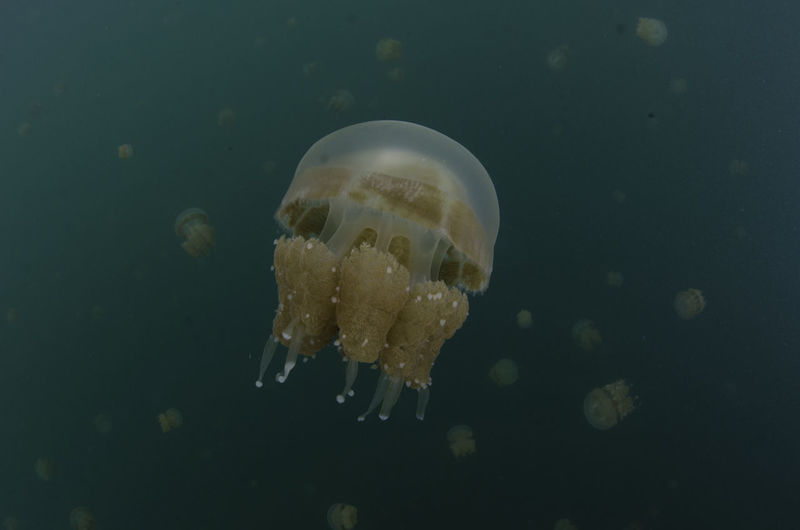 Jellyfish in a lake in Southeast Asia Dreams Drifting INDONESIA Jellyfish Lake Many People Nature Relaxing Adventure Animal Backgrounds Backgrounds Cat Confused Floating Jellyfish Lake Many Opt Navigation One Of Many Palau Sea Sea Life Swimming UnderSea Underwater Water