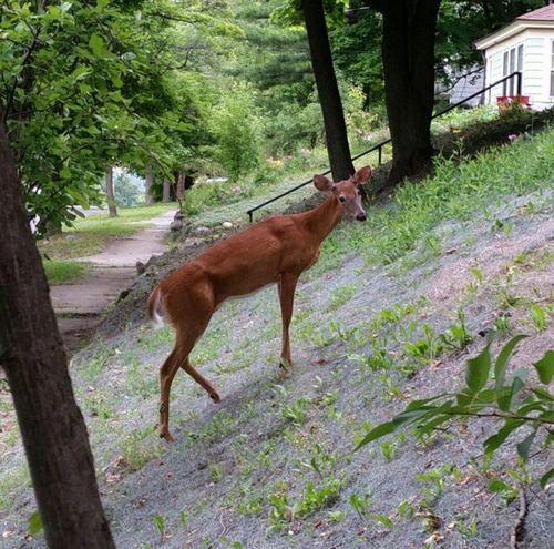Watching Deer Deer Deer ♥♥ Deer Moments Deersighting Oh Deer Deerofinstagram Deer In My Yard Deerseason Nature