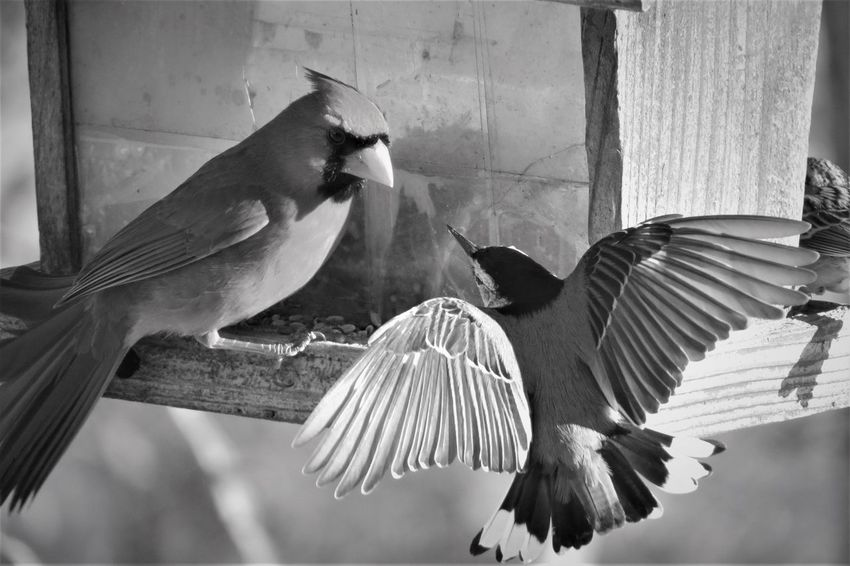 Animal Themes Animal Wildlife Animals In The Wild Bird Birdwatching Black And White Photography Close-up Confidence Is Key ! Confrontation Day Food Fight No People Northern Cardinal Outdoors Spread Wings White-breasted Nuthatch