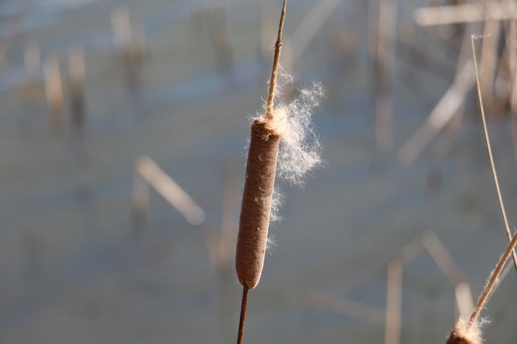 Beauty In Nature Cattail Contra Loma Trails Day Growth Nature No People Outdoors Plant Plant Stem