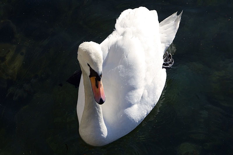 swan in lago maggiore Lago Maggiore, Italy Luino Animal Themes Animal Wildlife Animals In The Wild Beak Bird Close-up Day Floating On Water High Angle View Lake Nature No People One Animal Outdoors Swan Swimming Swimming Animal Water Water Bird White Color