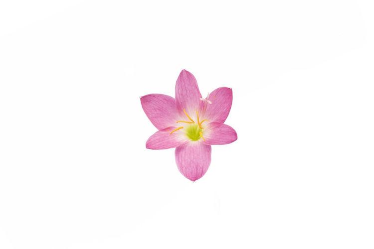 Rain lily color