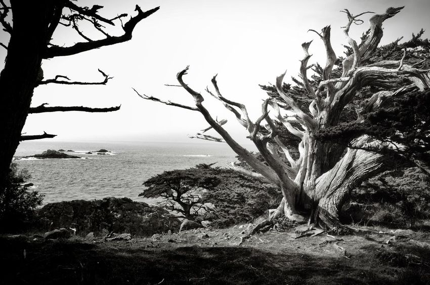 Bare Tree Beauty In Nature Black & White Black And White Blackandwhite Branch Coast Horizon Over Water Landscape Light And Shadow Monochrome Nature Nature Lover Outdoors Pacific Ocean Scenics Tranquil Scene Tranquility Tree Tree Trunk Water Windformed California Dreamin