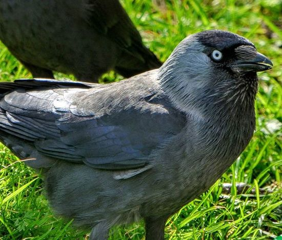 Jackdaw on the Southdowns yesterday Nature Photography Uknaturecollective Nature Wild Followme Ig_birdlovers Ig_birdwatchers Nuts_about_birds Kings_birds Wildlife Nature England Rsa_nature Ukwildlifeimages Springwatch Lumix Naturehippys @sussexwildlifetrust