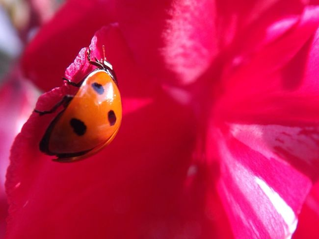 Close-up One Animal Insect No People Ladybug Animals In The Wild Focus On Foreground Animal Themes Red Day Outdoors Ladybug Coccinelle Flower And Ladybug Flower And Insect