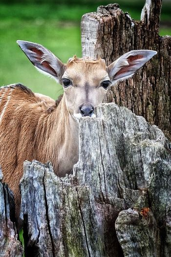Portrait of deer by tree stumps