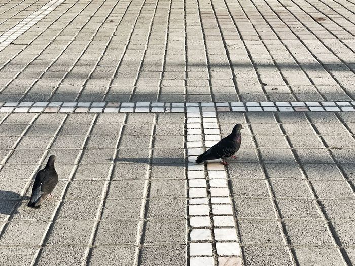 High angle view of pigeon perching on footpath