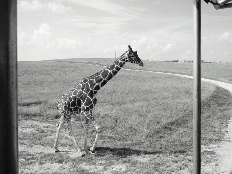 I can't help myself when it comes to Black And White Photography. Giraffe Beauty In Nature Safari Animals The Wilds Conservatory Animal Themes Animals Up Close Mein Automoment Animal Photography EyeEm Nature Lover Eyeem Black And White Bnw_captures Nature Landscape Road Non-urban Scene African Wildlife Lines, Shapes And Curves Perspective For The Love Of Black And White Wildlife & Nature Mobile Photo Giraffes Shootermag_usa