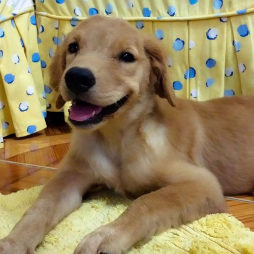 Welcome home Jacque Doglover PuppyLove Goldenretriever Happyhome happy