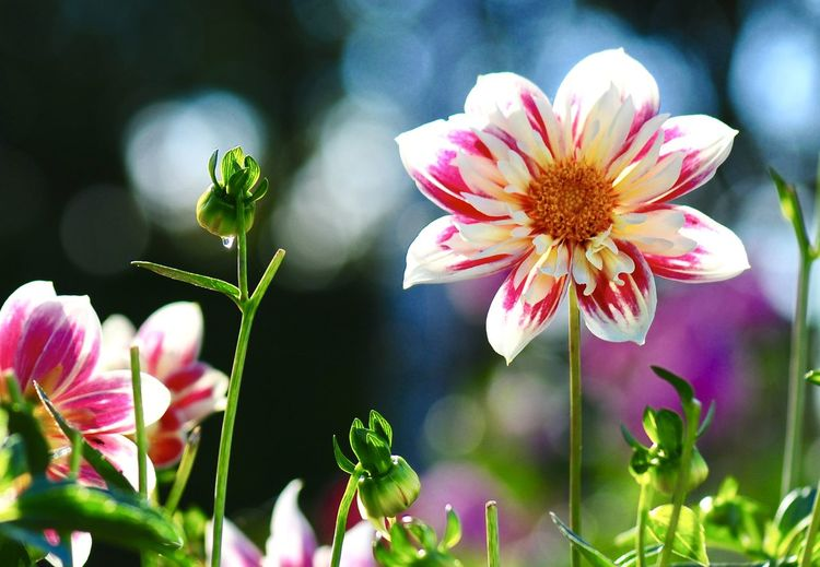 Autumn Flowers Autumn Mood Flower Vulnerability  Beauty In Nature Petal Pink Color Close-up Focus On Foreground Nature No People Selective Focus Outdoors Plant Stem Plant Flowering Plant Flower Head Fragility EyeEmNewHere Autumn Autumn colors