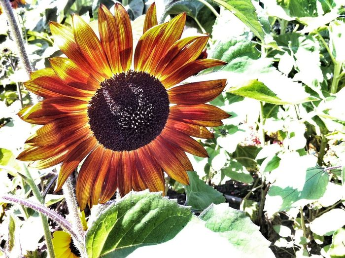 sunflower power Sunflower Nature Flower Porn Flowers
