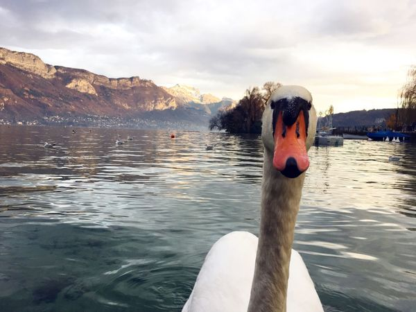 What are you looking at swan Water Sky Nature Sea Cloud - Sky Outdoors Beauty In Nature Day Close-up Animal Themes One Person Swan