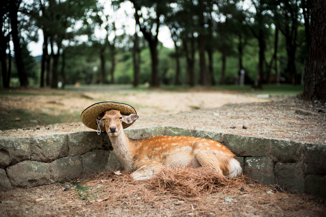 Deer with hat relaxing in forest