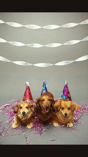 Pets Corner Weeniedog Dachshund Pomeranian Puppy Birthday