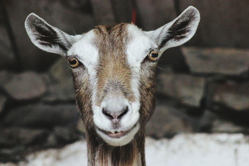Goat Goat Life Farm Life Farming Farmer Farm Animal Farm Animals Farm Portrait Looking At Camera Close-up HEAD Animal Eye Eye Animal Ear Animal Nose Ear