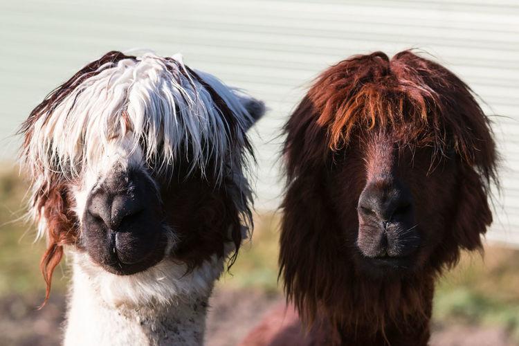 Close-Up Portrait Of Lamas