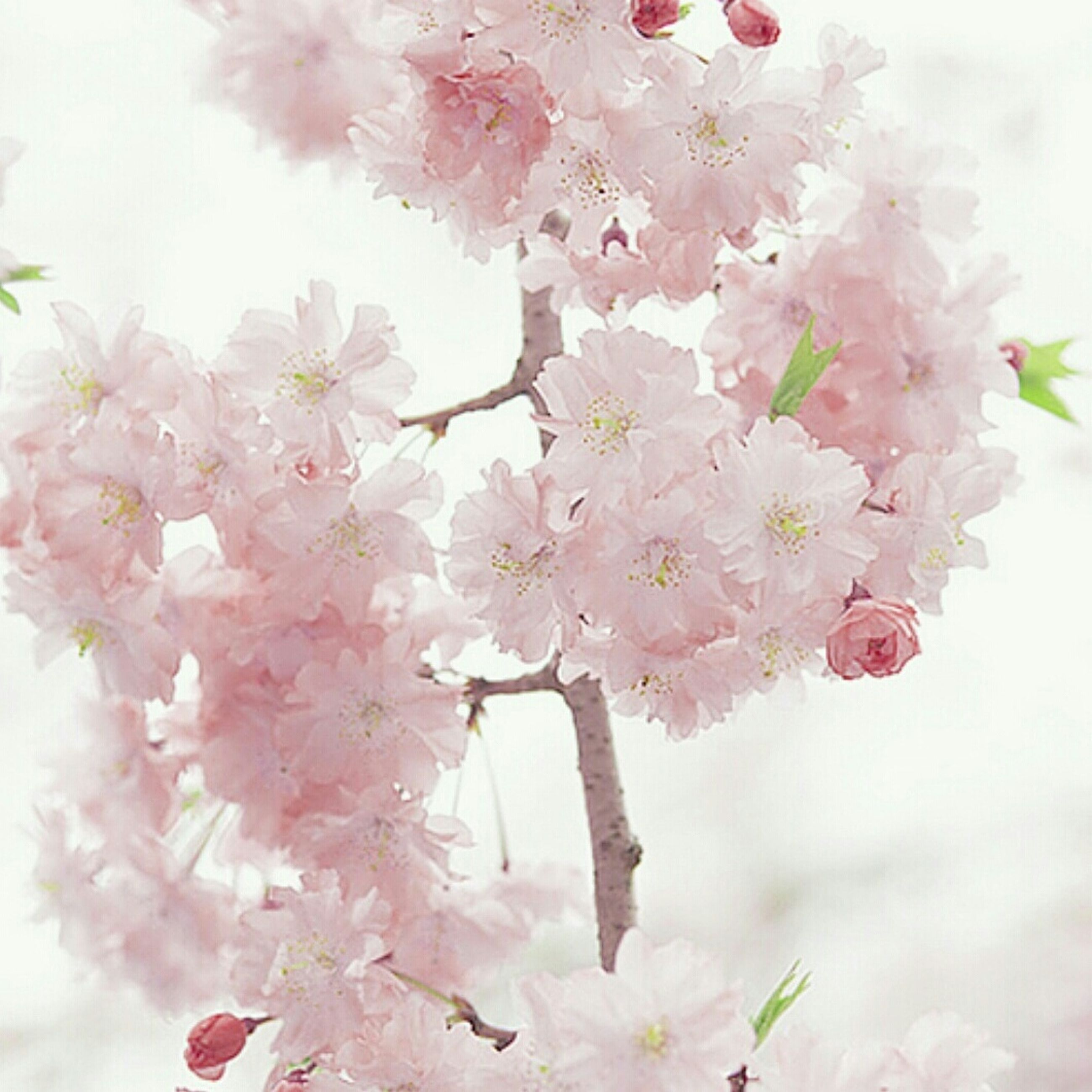 flower, freshness, fragility, petal, beauty in nature, growth, blossom, nature, branch, cherry blossom, blooming, in bloom, pink color, cherry tree, white color, low angle view, tree, close-up, flower head, bunch of flowers