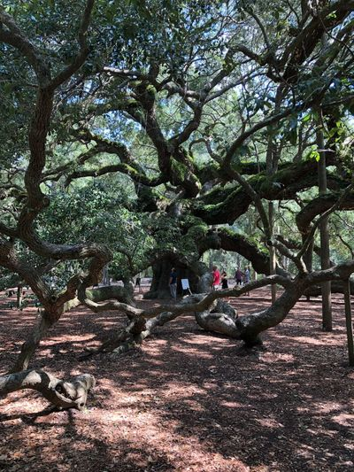 Angle Oak Tree Tree Plant Growth Nature No People Day Branch Beauty In Nature