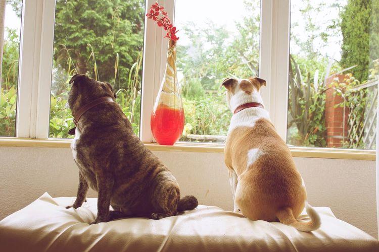 Bailey & Diesel 🐾❤️ Pets Staffy AmericanBulldog Brindle Canoneos1100D Pug Mixedbreed