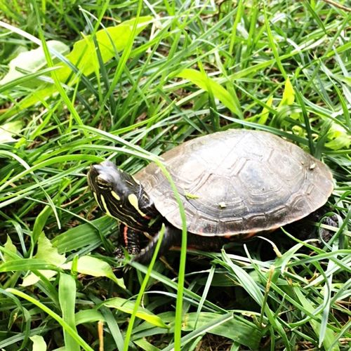 Painted turtle Reptile Turtle Green Grass Nature Outdoors Animal Shell Painted Turtle