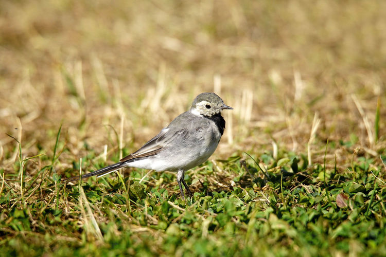 White Wagtail at Sogndal, Norway Bird Photography Grass Nature Norway Songbird  Summertime Sunlight Tiny Bird Cute Dryness Fragile Fragile Beauty Grassland Growing Up Lawn Pied Wagtail Selective Focus Sogndal Sognefjord Summer Sunshine White Wagtail Wildlife Young Bird