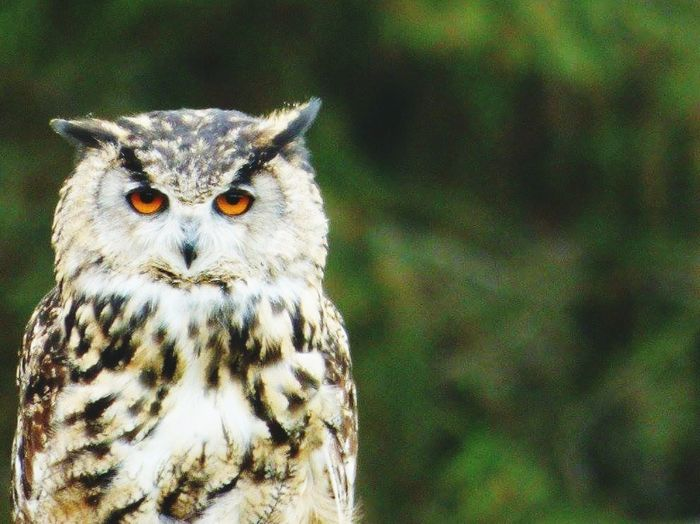 Bird Animal Owl Eye Bird Of Prey HEAD Looking At Camera Feather  Wild Yellow Eyes Nature Close-up Owl Eyes Owl Photography Owls EyeEmNewHere @lulabellssnaps