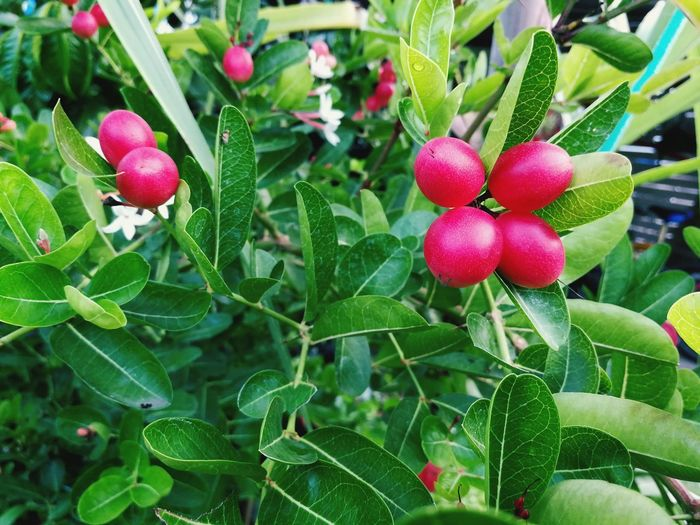 Growth Leaf Green Color Food And Drink Fruit Freshness Nature Day Outdoors No People Plant Close-up Red Food Beauty In Nature Healthy Eating Carissa Carandas Red Pink Fruits