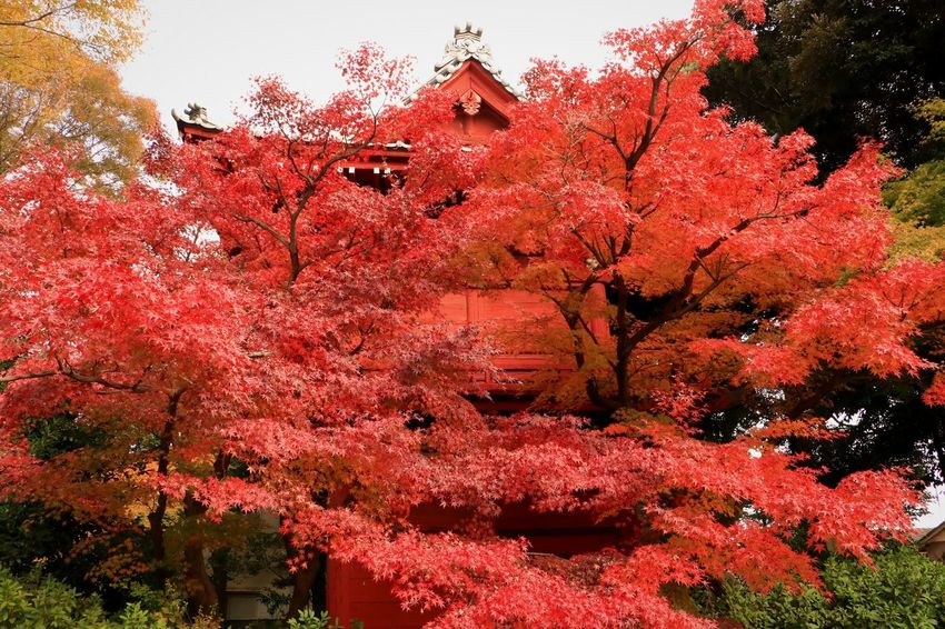 Red Tree Nature Leaves And Colors Autumn Leaves Maple Leaf Red Color Maple Tree Landscape Japan Red Tree Autumn Japanese Temple Temple