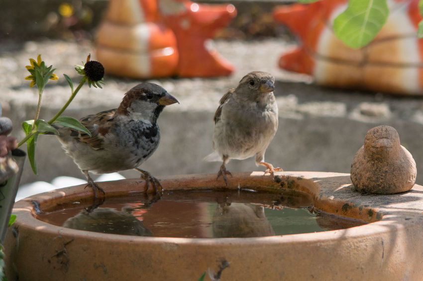 Sperlinge bei der Vogeltränke Vogel Sperlinge Heißer Tag Vogeltränke Wasser Spiegelung Licht Und Schatten Durst Sparrow Bird Water Perching Close-up Animal Themes Songbird  Young Bird Cold Drink