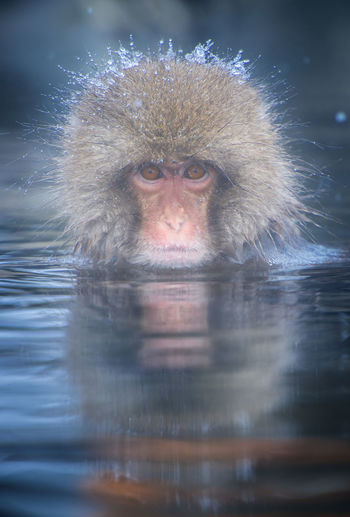 Snow monkey in a hot spring, Nagano, Japan. Animal Themes Animal Wildlife Animals In The Wild Close-up Cold Temperature Day Hot Spring Japanese Macaque Looking At Camera Mammal Monkey Nature No People One Animal Outdoors Portrait Reflection Swimming Water Waterfront Winter