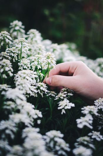 Cropped Hand Plucking White Flower In Park