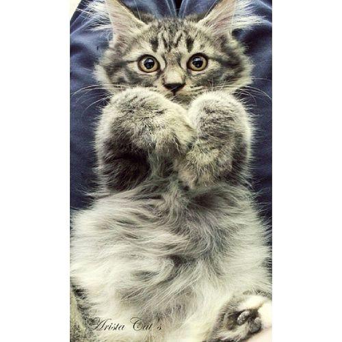 Nak peluk!! Aristacats Kittensofinstagram Kitten Kot kedi kedici persian neko gatti gato meow kucing cats instakitten petphotography cats_of_instagram catfie catsphotography kissa instagramcats