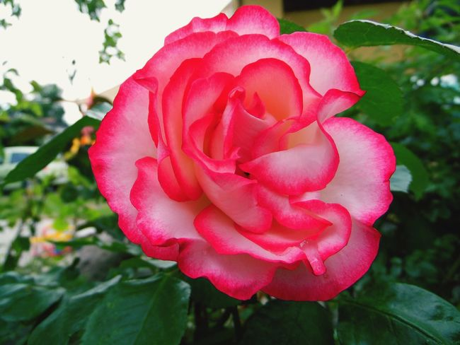 Flower FlowerPink Rose - Flower Rosé Beautiful Beautiful Nature Garden Garden Photography