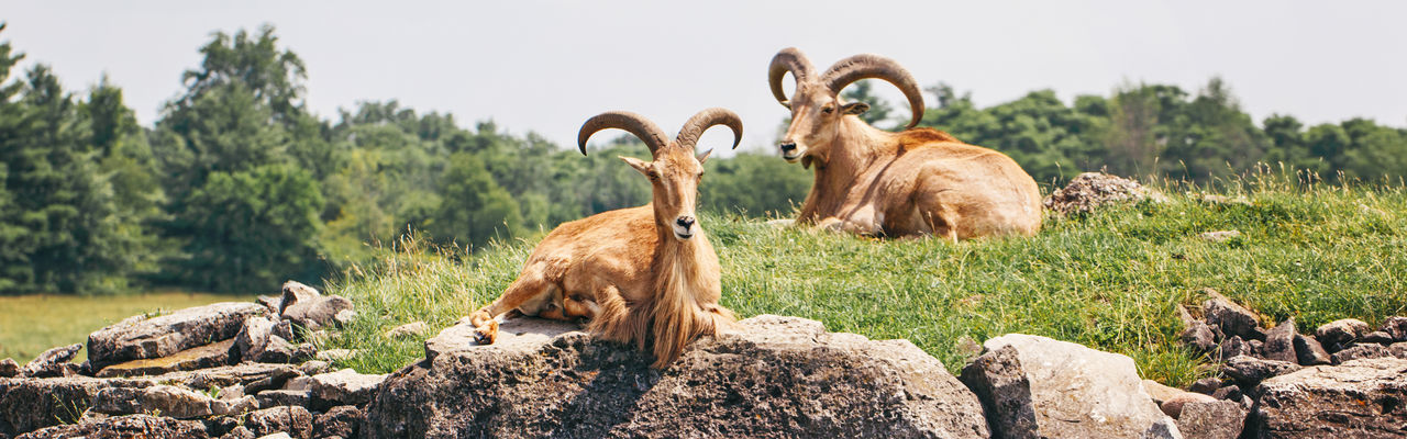 Group of barbary sheep wild goats antelope on rocks on summer day. herd of wild texas aoudad goats