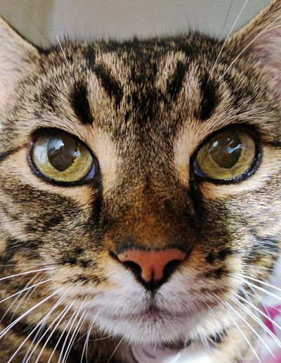 Cat, close up, feline, looking at camera, pets, Portrait Animal Head  Tabby Cat Domestic Animals Animal Themes One Animal No People Close-up Cats on EyeEm