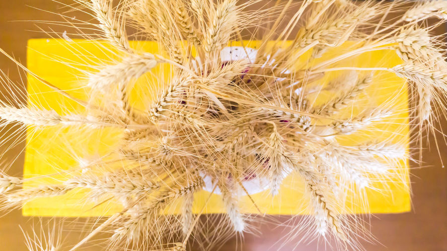 Ears of Wheat in a jar on a yellow placemat on a wooden table Cereal Cereal Plant Corn Ear Of Wheat Ears Of Corn Ears Of Wheat Growth Home Home Design Home Interior Interior Design Jar Nature No People Ornament Ornaments Place Mat Plant Seed Table Wheat Wooden Table Yellow Yellow Color Yellow Placemat