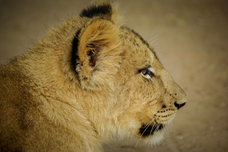 The Small Lioness African Animals HEAD Light Lion Namibia NamibiaPhotography Africa Carnivore Close-up Cute Focus Fur Head Of Animal Lion - Feline Lion Cub Lioness Mammal Portrait Predator Predators Safari Safari Animals Strong