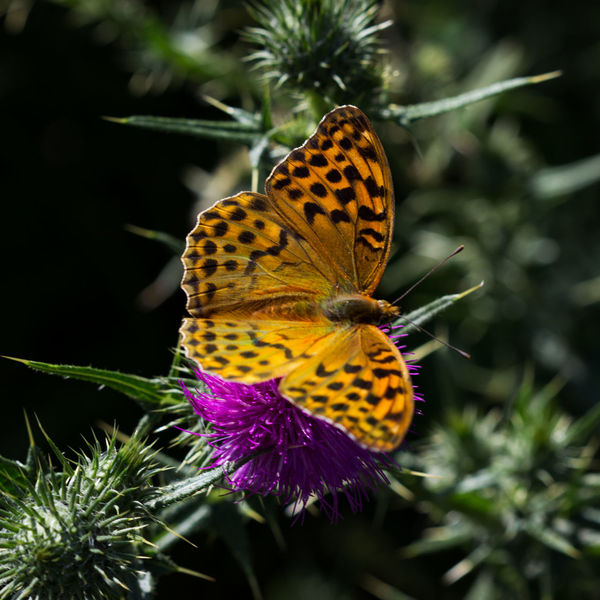 Pearl Bordered Fritillary Fritillary Butterfly Orange Butterfly Flower Flower Head Perching Beauty Butterfly - Insect Multi Colored Red Insect Close-up Animal Themes Butterfly Animal Wing Pollination Symbiotic Relationship Eastern Purple Coneflower Thistle Animal Antenna Spread Wings Animal Markings