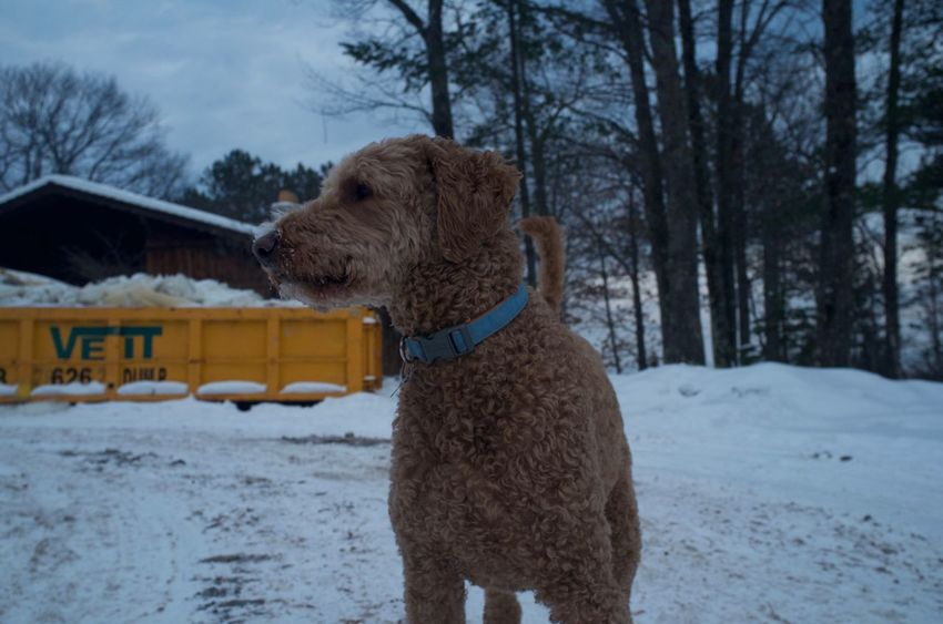 January 23, 2016 Animal Animal Head  Animal Themes Brown Cold Curiosity Cute Dog Domestic Animals Duluth Full Length Goldendoodle Mammal Minnesota One Animal Perspective Pet Collar Pets Portrait Relaxation Relaxing Sitting Togetherness