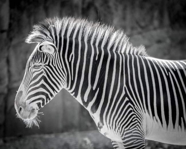 ©Amy Boyle Photography Zebra Zoo Animal Markings Animal Themes Animal Wildlife Animals In The Wild Close-up Day Focus On Foreground Mammal Nature No People One Animal Outdoors Side View Striped Zebra
