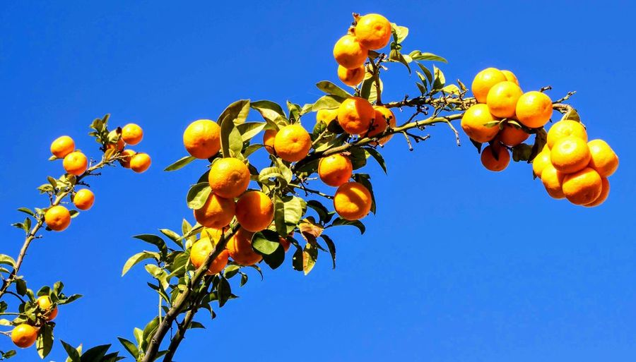 Low angle view of fruits growing on tree against clear blue sky