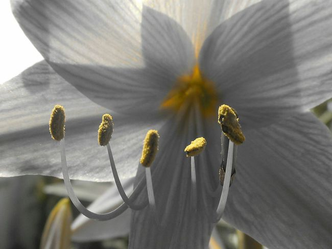 Macro Photography Macro_collection Selective Color Yellow White Lily Urban Gardening My Balcony Garden Things I Like