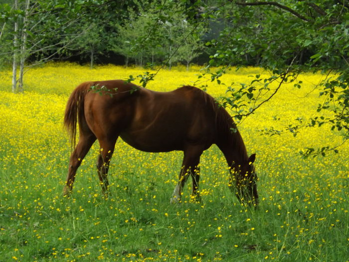 Animal Head  Animal Themes Bridle Brown Countryside Day Domestic Animals Field Grass Grass Area Grassy Green Color Herbivorous Hoofed Mammal Horse Livestock Mammal Nature Non-urban Scene One Animal Perfect Horse In A Perfect Field. Tranquil Scene Tranquility Working Animal Zoology