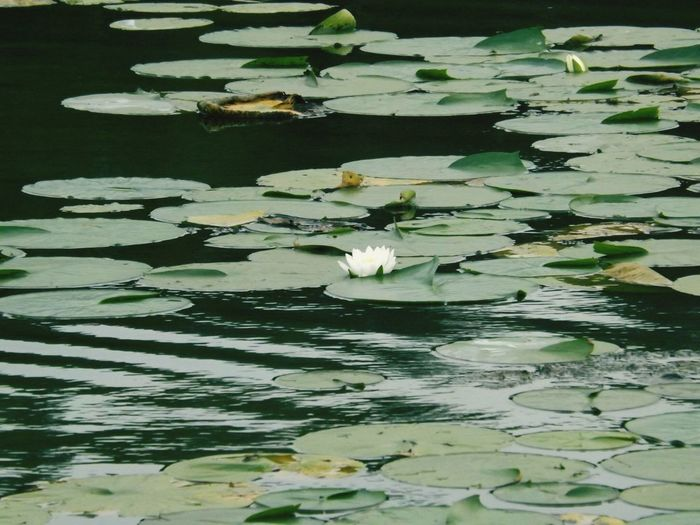 8th crow wing lake Showcase July Minnesota Nature Lilypadflower Water Outdoors Beauty In Nature Tranquility The Great Outdoors - 2017 EyeEm Awards