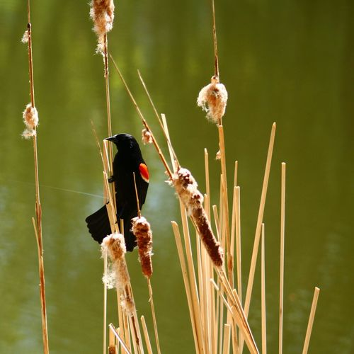 Red-Winged Blackbird Perching On Cattail In Centennial Lakes Park
