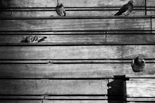 Pigeons Backgrounds Full Frame Wood - Material Day No People Outdoors Pattern
