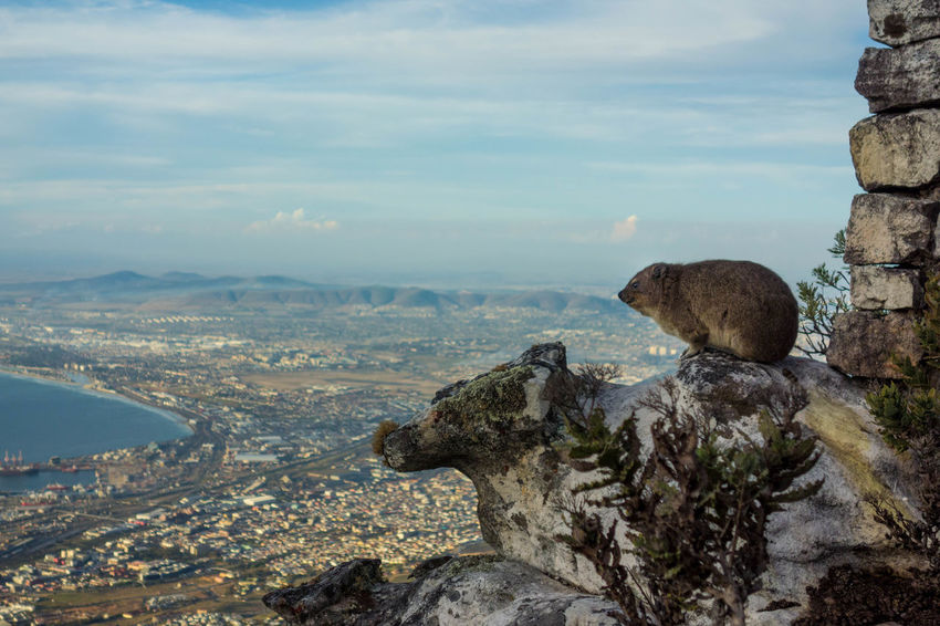 Rock hyrax looking over Cape Town Cape Town Cape Hyrax South Africa Table Mountain Animal Beauty In Nature City Cityscape Close-up Cloud - Sky Dassie Day Mountain Nature No People Outdoors Rock Hyrax Sky
