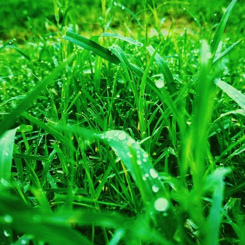 Green nature Close-up Grass Green Color Plant Blade Of Grass Water Drop Dew Plant Life Glass Botany Detail RainDrop Rainy Season Monsoon Wet Leaf Vein Drop Droplet